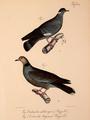 Neue Wirbelthiere zu der Fauna von Abyssinien gehörig (1835) Columba albitorques & Streptopelia lugens.png