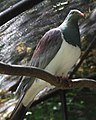 New Zealand pigeon 2 (30836773004).jpg