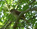 Nightingale . Luscinia megarhynchos - Flickr - gailhampshire.jpg