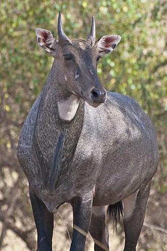 Nilgai - Close view of a male nilgai showing the facial markings, throat patch, beard and short horns.