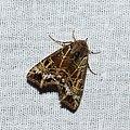 Noctuoidea (33051566650).jpg