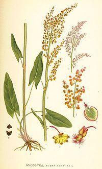 Nordens flora Rumex acetosa