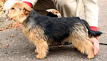 Gifts for Norwich Terrier Dog Lovers