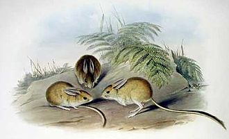 Hopping mouse - Fawn hopping mouse (Notomys cervinus)