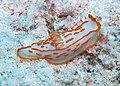Nudibranch in KapoposanG Island.jpg
