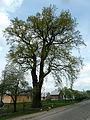 Nudyzhe Liubomlskyi Volynska-oak Volyniaka-view from street-2.jpg