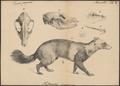 Nycthereutes viverrinus - met schedel en gebit - 1833-1850 - Print - Iconographia Zoologica - Special Collections University of Amsterdam - UBA01 IZ22200301.tif