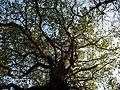 Oak, born old^ - geograph.org.uk - 1278287.jpg