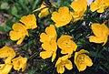 Oenothera fruticosa.jpg