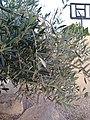 Olea europaea leaves 1.jpg