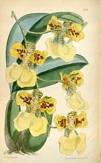 Oncidium marshallianum