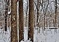 Oneida Maple - panoramio.jpg