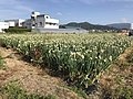 Onion fields in Tajiri, Nishi, Fukuoka 5.jpg