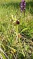 Ophrys sphegodes 13.jpg