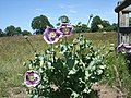 Opium Poppy - Papaver somniferum - geograph.org.uk - 1472022.jpg