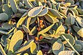 Opuntia ficus-indica in Ayia Marina Chrysochous, Cyprus.jpg