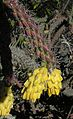 Opuntia spinosior-- the Cane Cholla (26962055592).jpg