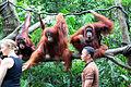 Orang Utans, Singapore Zoo (4447942043).jpg