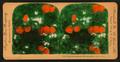 Orange Blossoms and Fruit, Los Angeles, Cal., U.S.A, by Singley, B. L. (Benjamin Lloyd).png