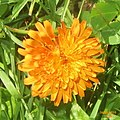 Orange hawkweed (Gru) (31144629123).jpg