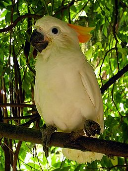 Kakadu žlutočečelatý