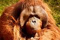 Orangután male.jpg