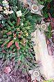 Orbea variegata 3.jpg