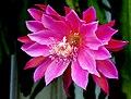Orchid cactus -- Epiphyllum hybrid 'Unforgettable'.jpg