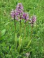 Orchis × beyrichii Saarland 01.jpg