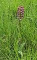 Orchis × hybrida 04.jpg