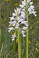 Orchis militaris pelouse-chezy-sur-marne 02 12052007 2.jpg