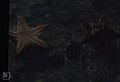 Oreaster starfish. Little San Salvador lagoon (27093405749).jpg
