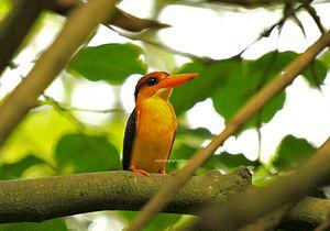 Oriental dwarf kingfisher - Oriental dwarf kingfisher