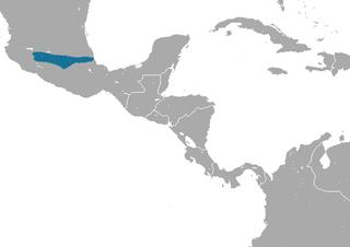 Orizaba long-tailed shrew species of mammal
