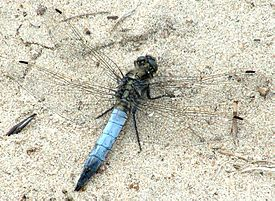 Orthetrum cancellatum (male).JPG