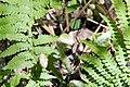 Osmunda claytoniana 0zz.jpg