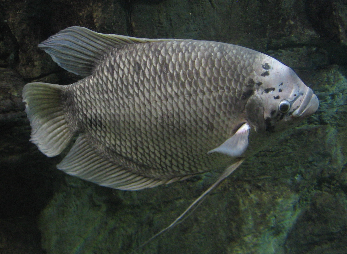 Giant gourami wikipedia for Large photos for sale