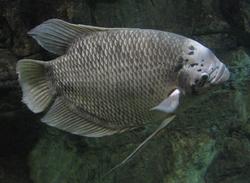 Osphronemus Gourami (better).png