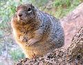 Overfed Rock Squirrel (5985912710).jpg