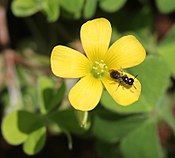 Oxalis corniculata (flower with insect).JPG
