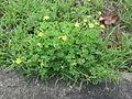 Oxalis corniculata plant3 (14520649508).jpg