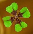 Oxalis tetraphylla A.jpg