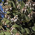 P20131226-0033—Arctostaphylos refugioensis—RPBG (16050259086).jpg