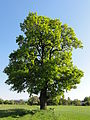 POL Brzezówka Drzewo.JPG