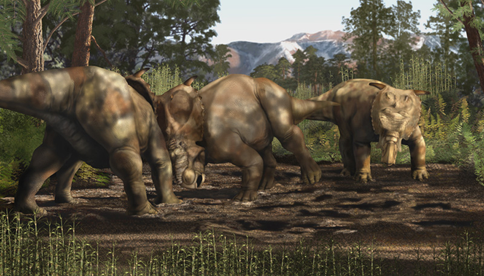 Pachyrhinosaurus fight