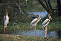 Painted Storks (Mycteria leucocephala) immature (20547733040).jpg