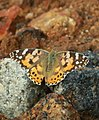 Painted lady with opened wings.jpg