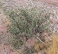 Palafoxia arida var arida 1.jpg