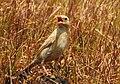 Pale rockfinch (ഇളം പാറക്കുരുവി ) - 11.jpg