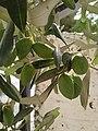 Palestinian green olives 01.jpg
